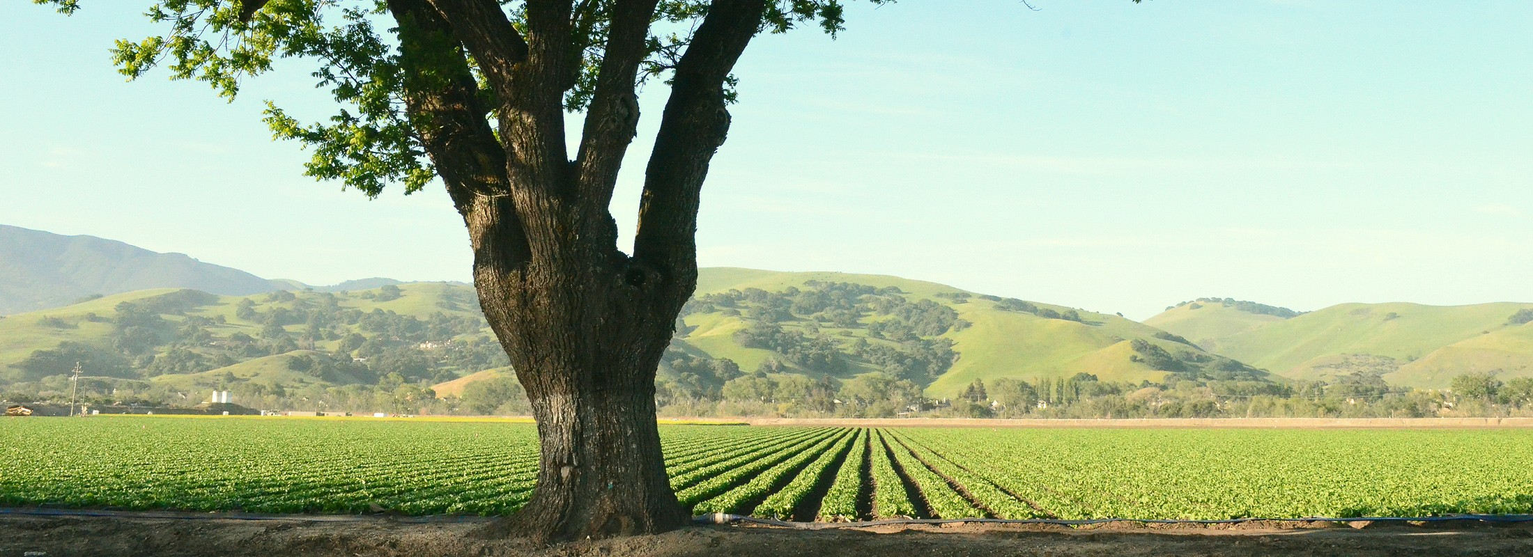 Salinas valley field, tree in foreground
